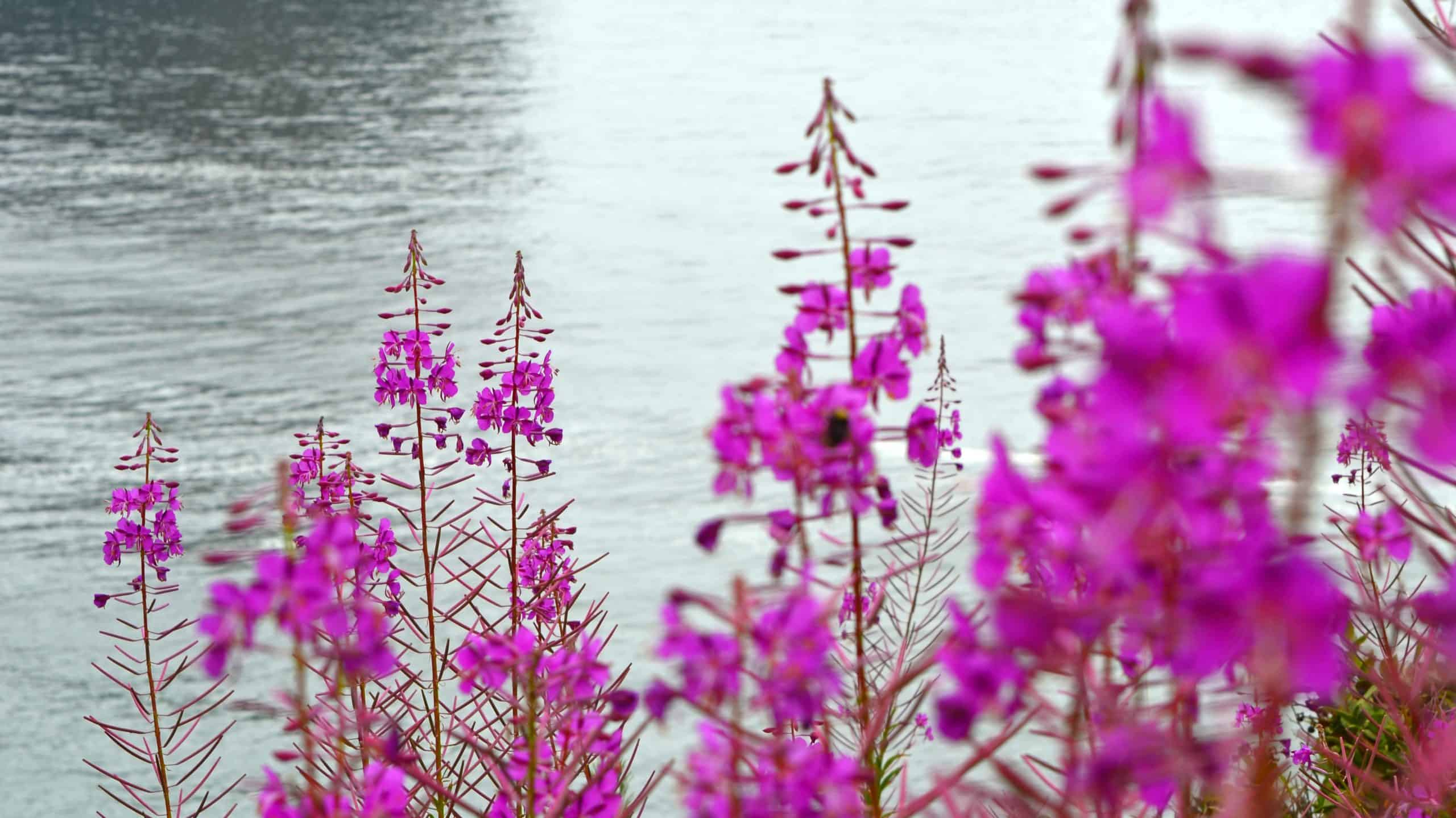 Bees Pollinating Fireweed
