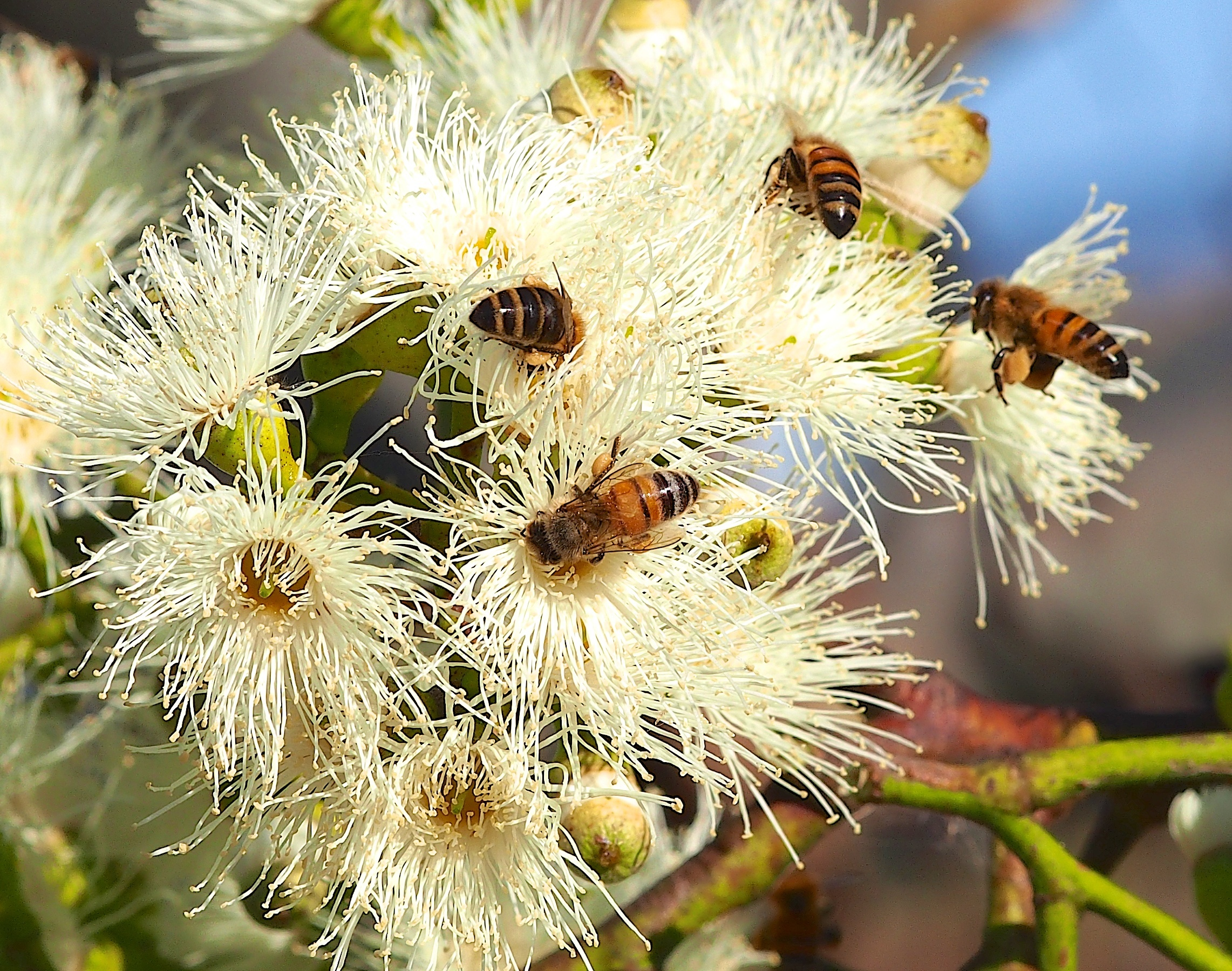 Honey Bees Collecting Eucalyptus Nectar From The Sugar Gum Tree (Eucalyptus Cladocalyx)