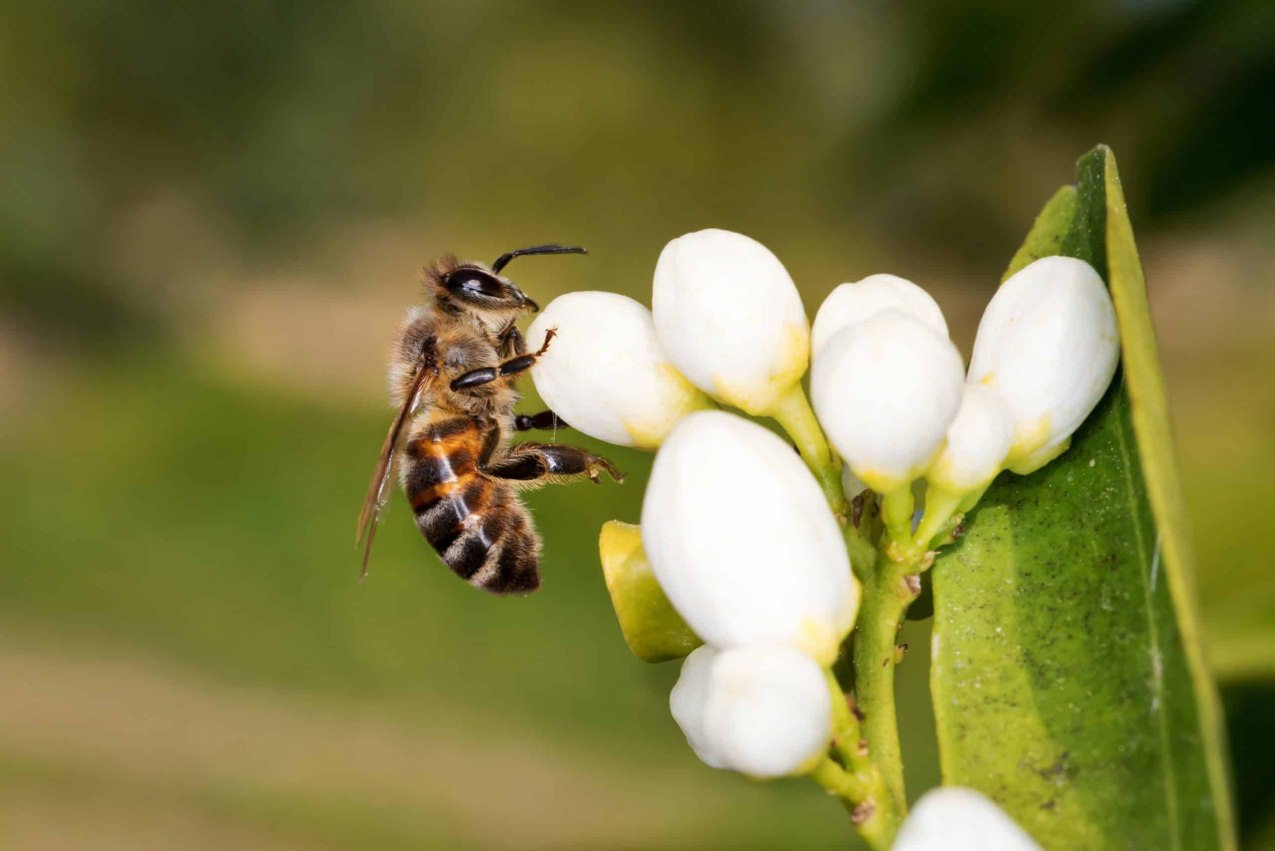 Honeybee Harvesting Orangeblossom Nectar