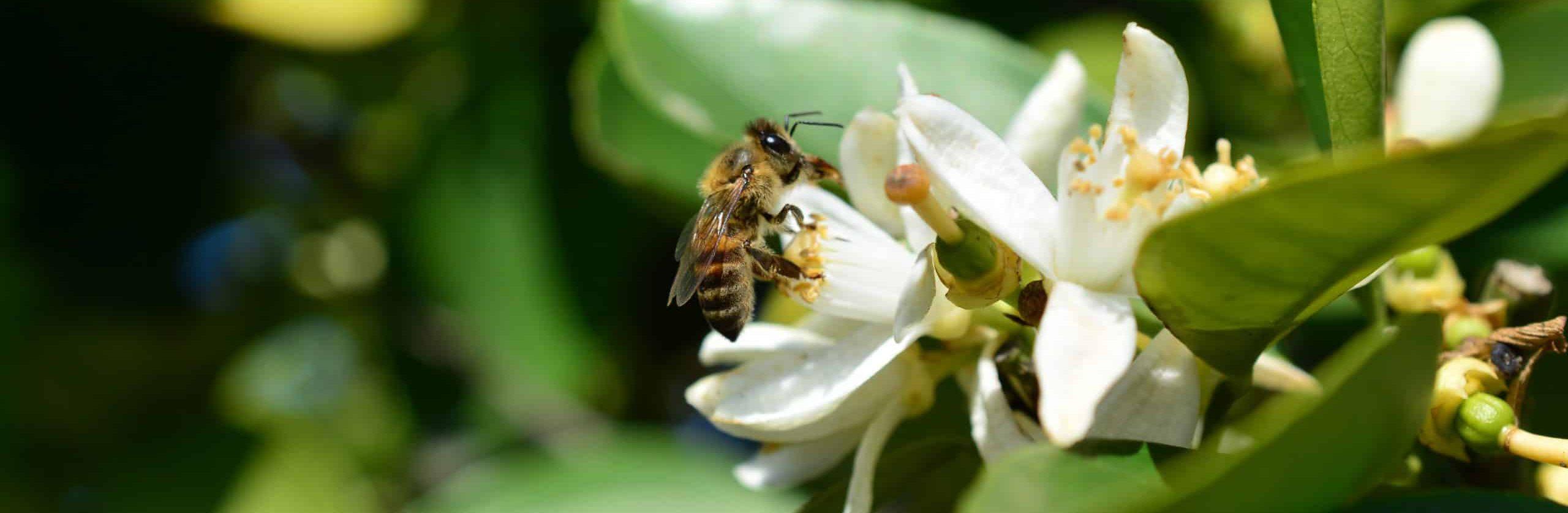 Honeybee Harvesting Orangeblossom