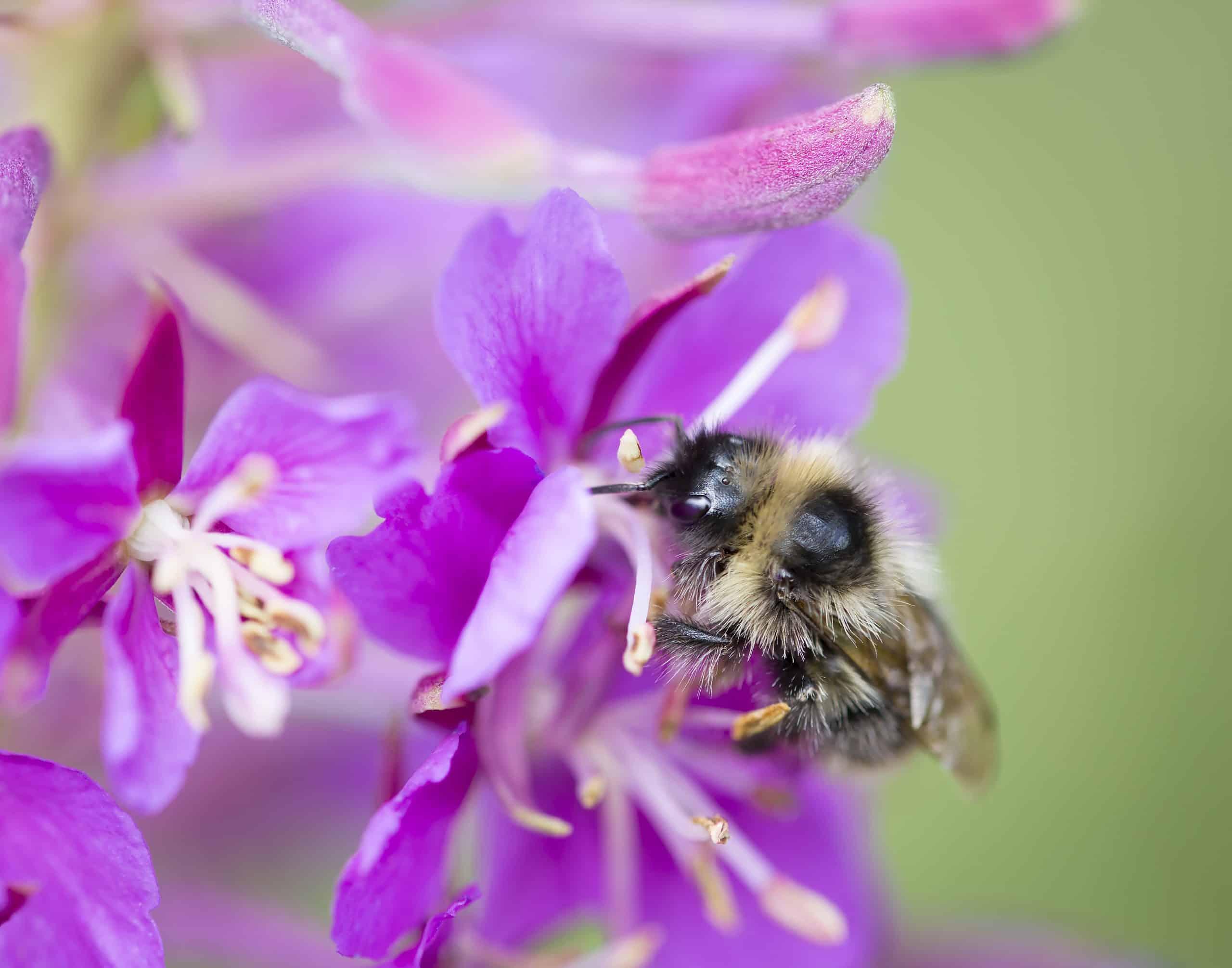 Honey bee Pollinating Fireweed