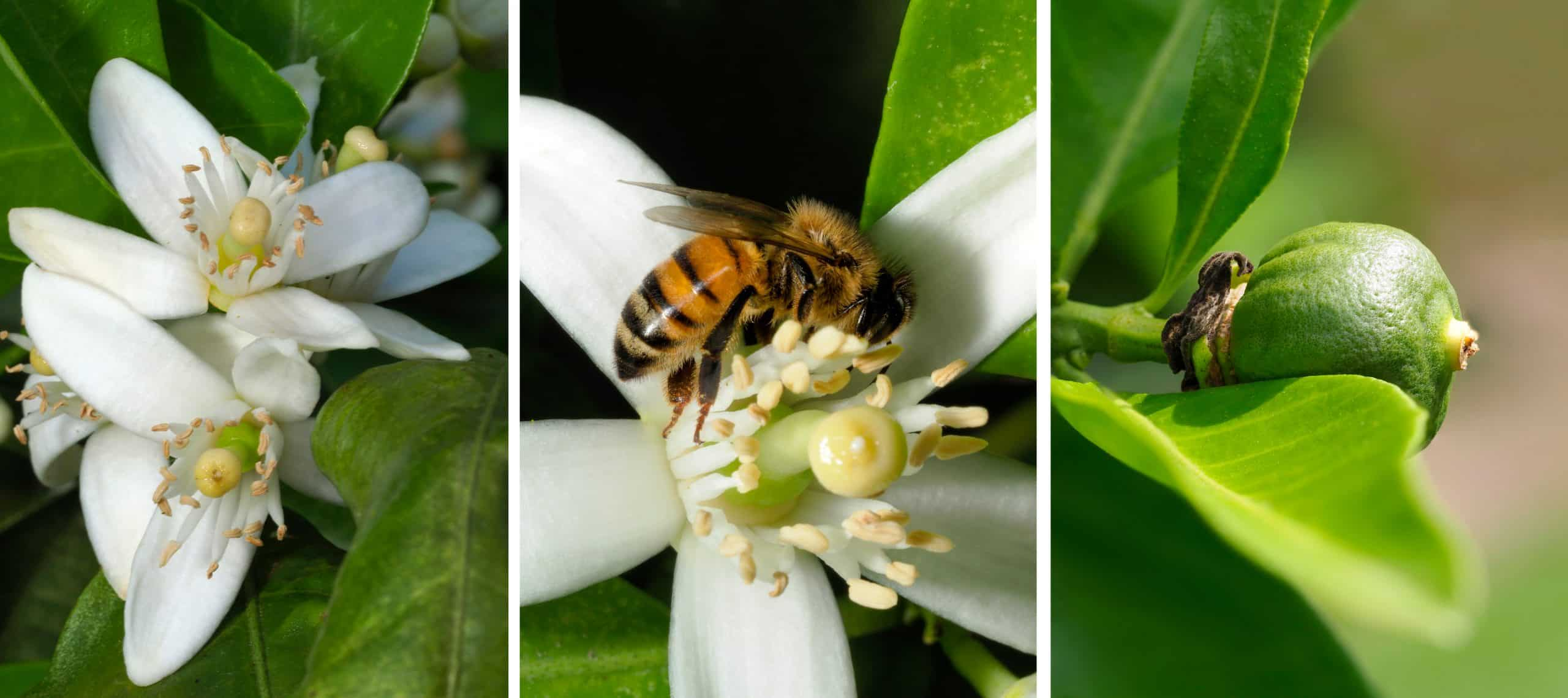 Honeybee Pollinating Orangeblossom Before It Becomes An Orange