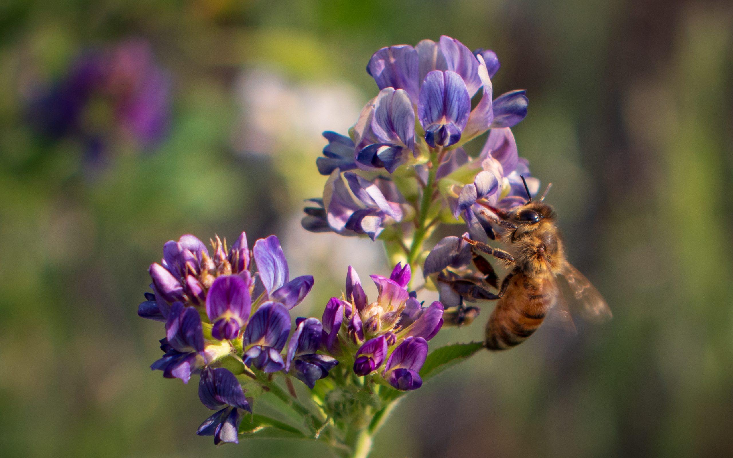 Honey Bee Extracting Alfalfa Nectar