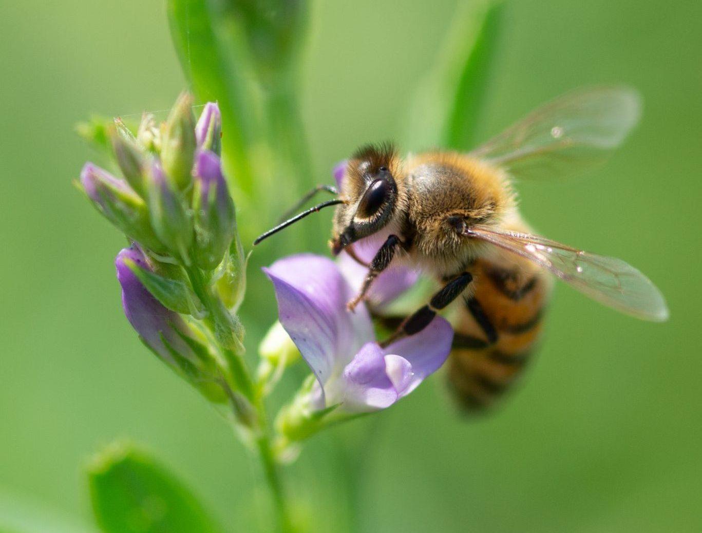 Honey Bee Harvesting Alfalfa Flower Nectar