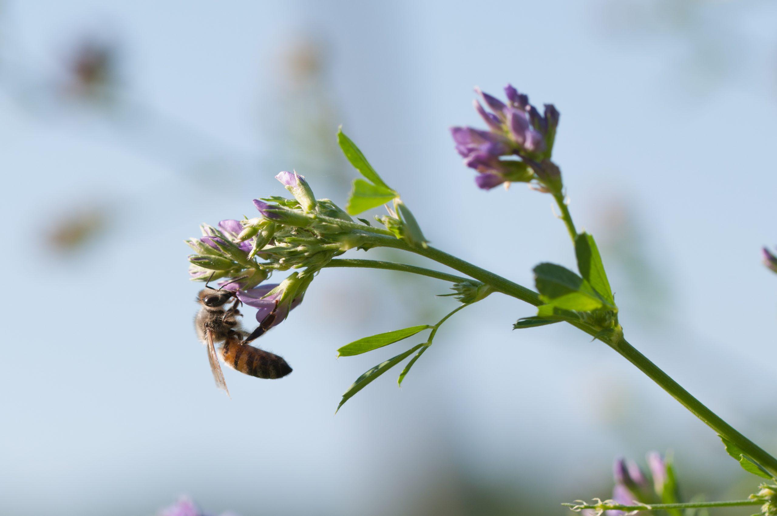 Honeybee Pollinating Alfalfa Flower