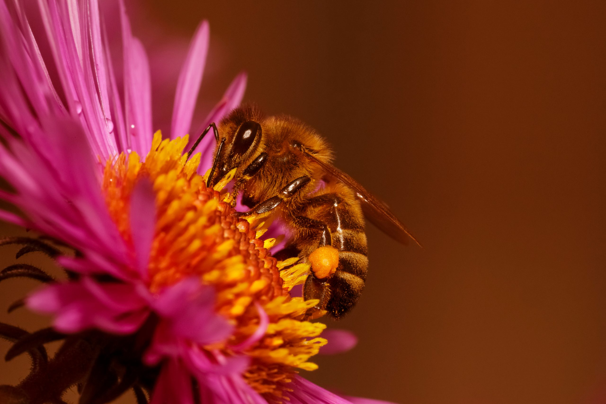 Honeybee Extracting Aster Flower Nectar