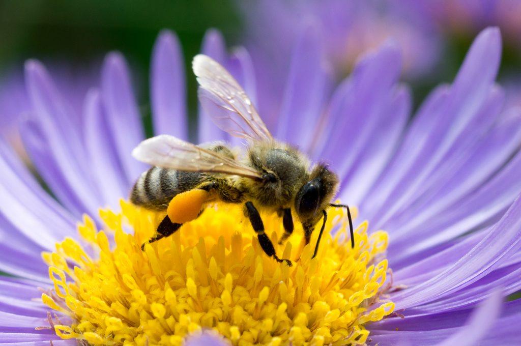 Honeybee With Large Pollen Basket On Aster Flower