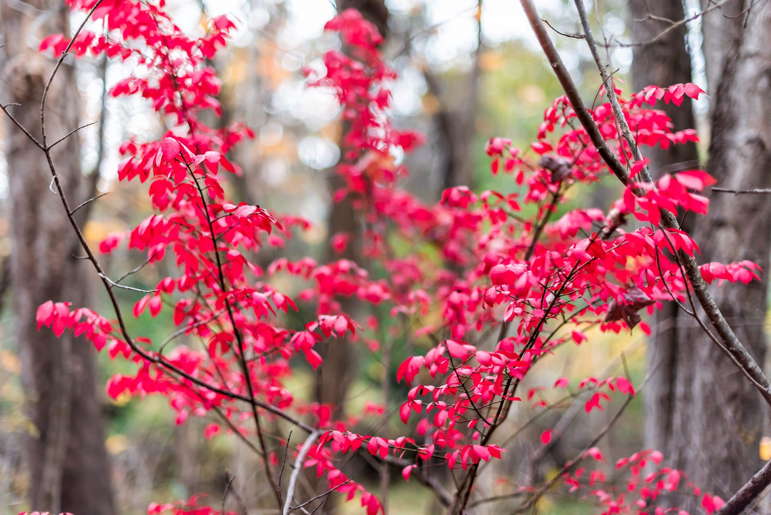 Sourwood Tree Leaves
