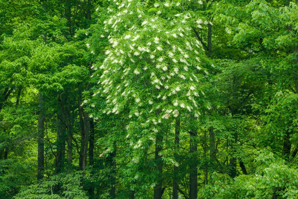 Sourwood Tree in Bloom In The Great Smoky Mountains