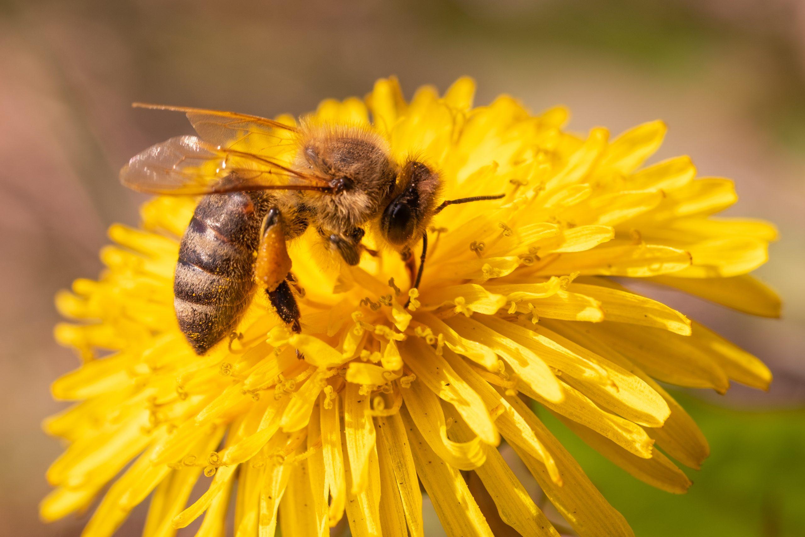 Honeybee Extracting The Dandelion Nectar