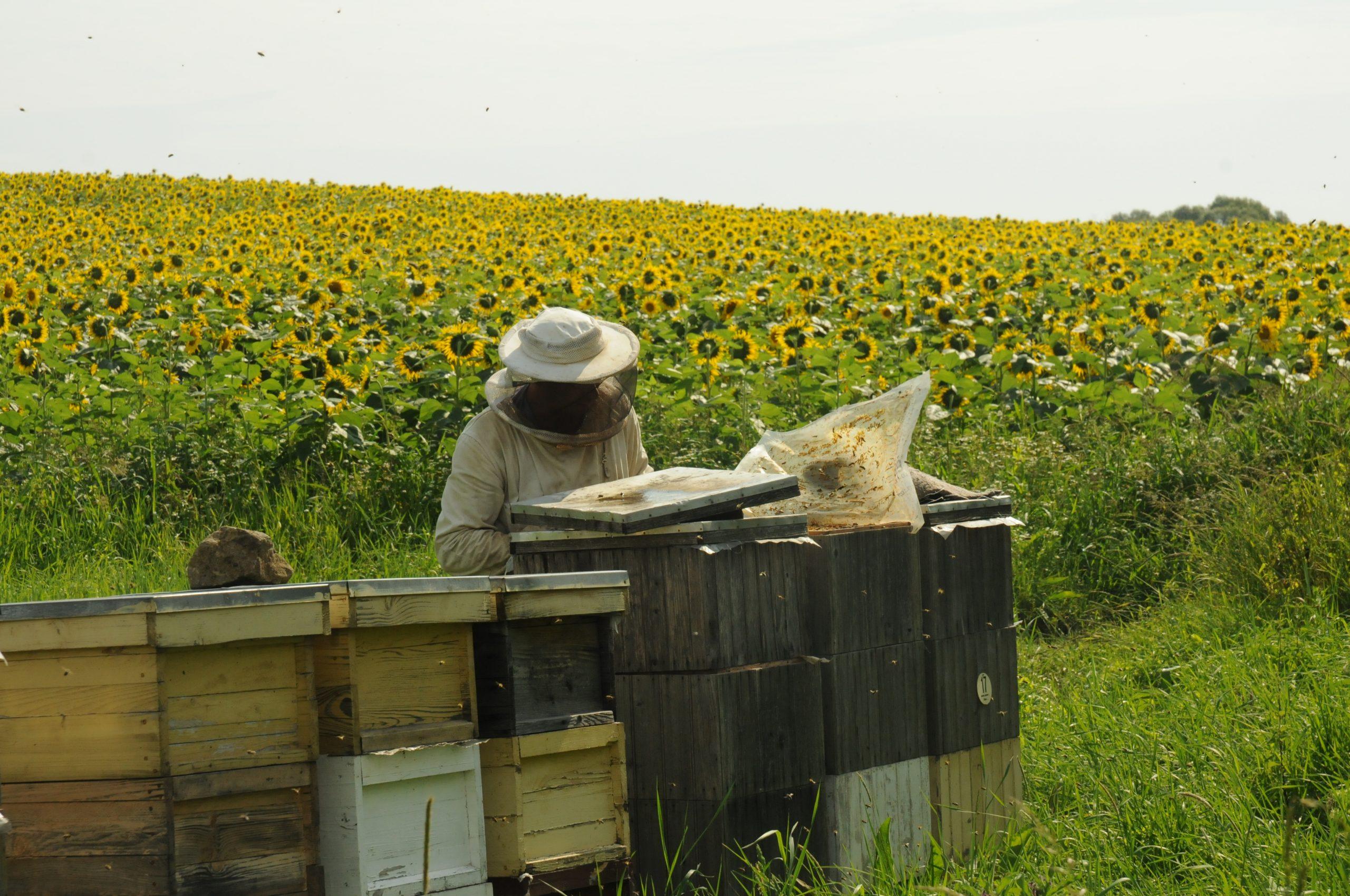 Honey Farm next to Sunflower field