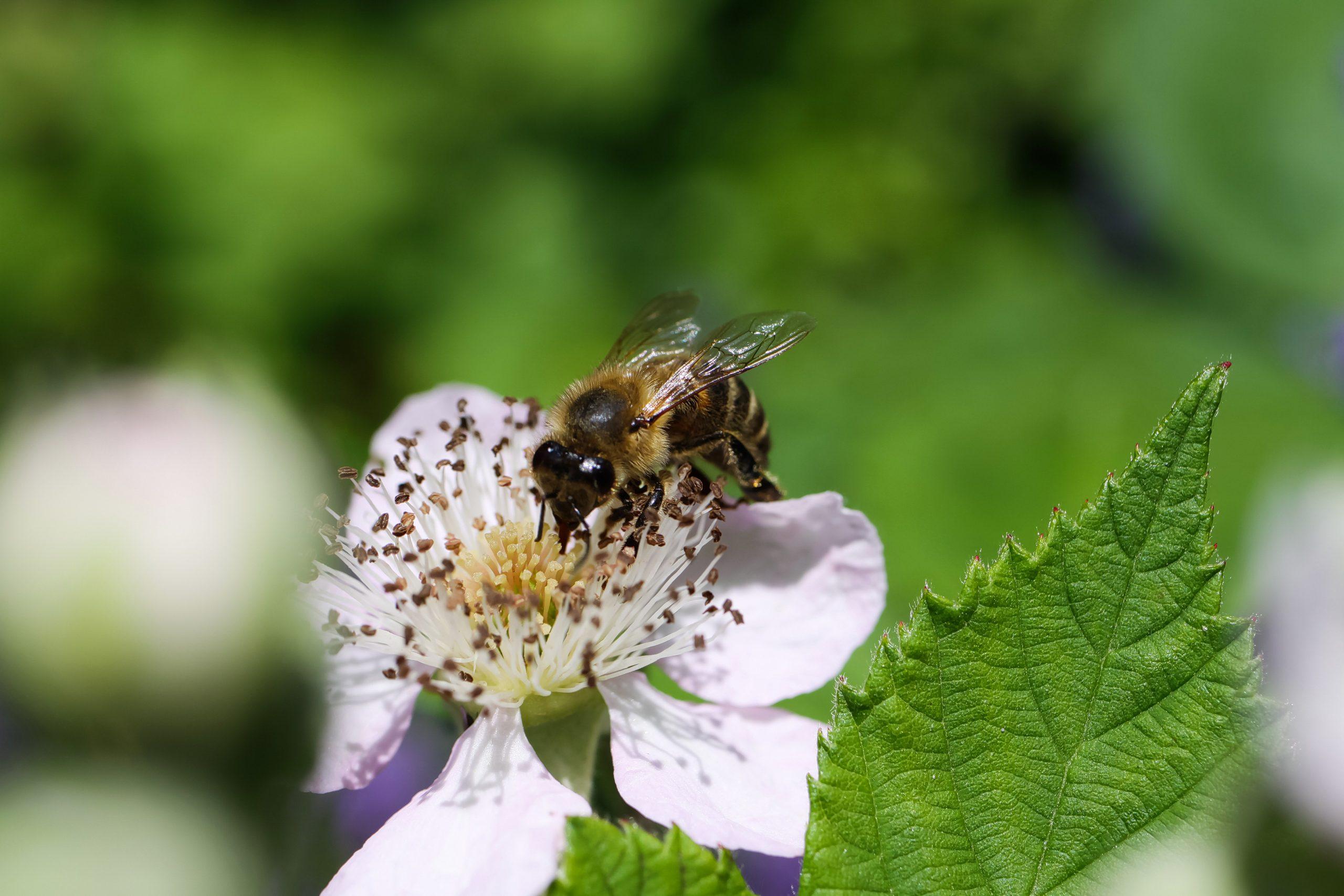 Honey Bee On Blackberry Flower Harvesting Nectar