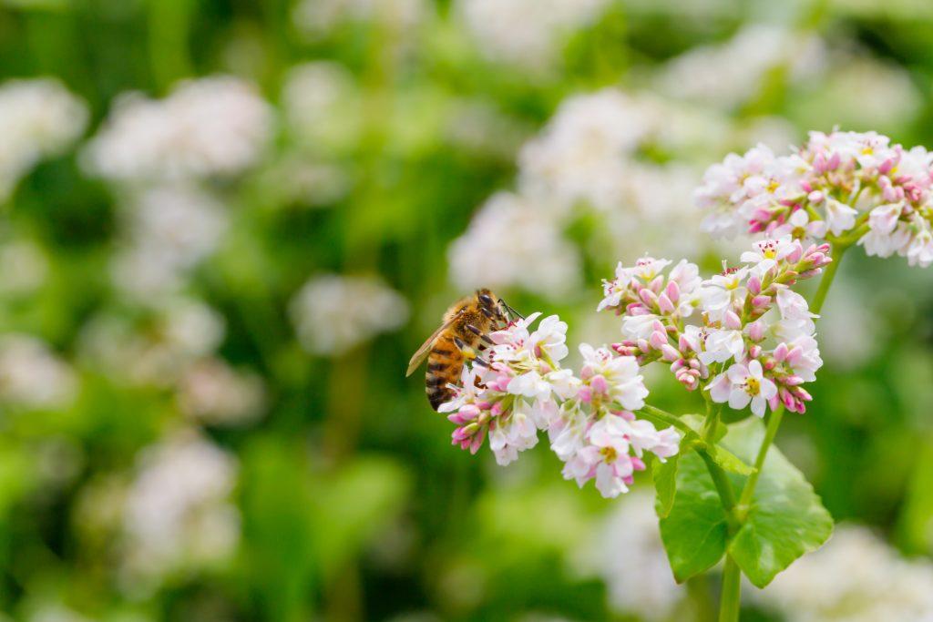 Honey Bee Pollinating Buckwheat
