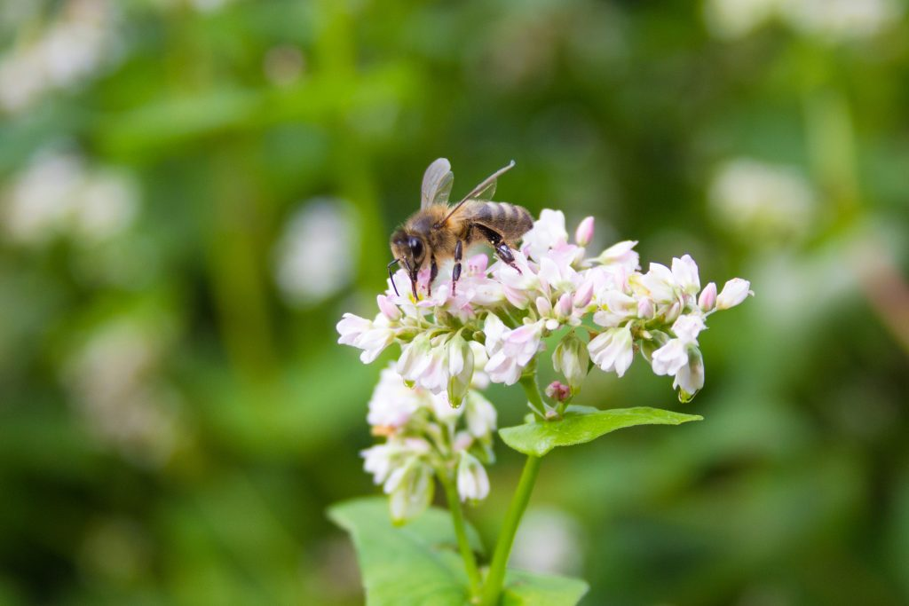 Honey bee Extracting Nectar Of Common Buckwheat