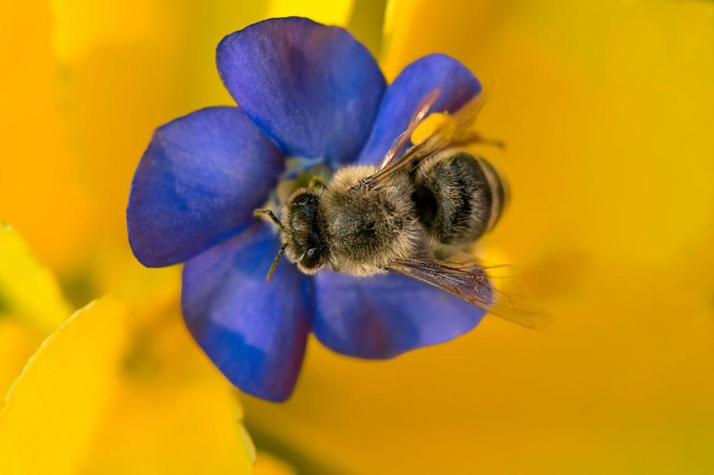 Carniolan Honey Bee (Apis Mellifera Carnica) On Violet Bloom