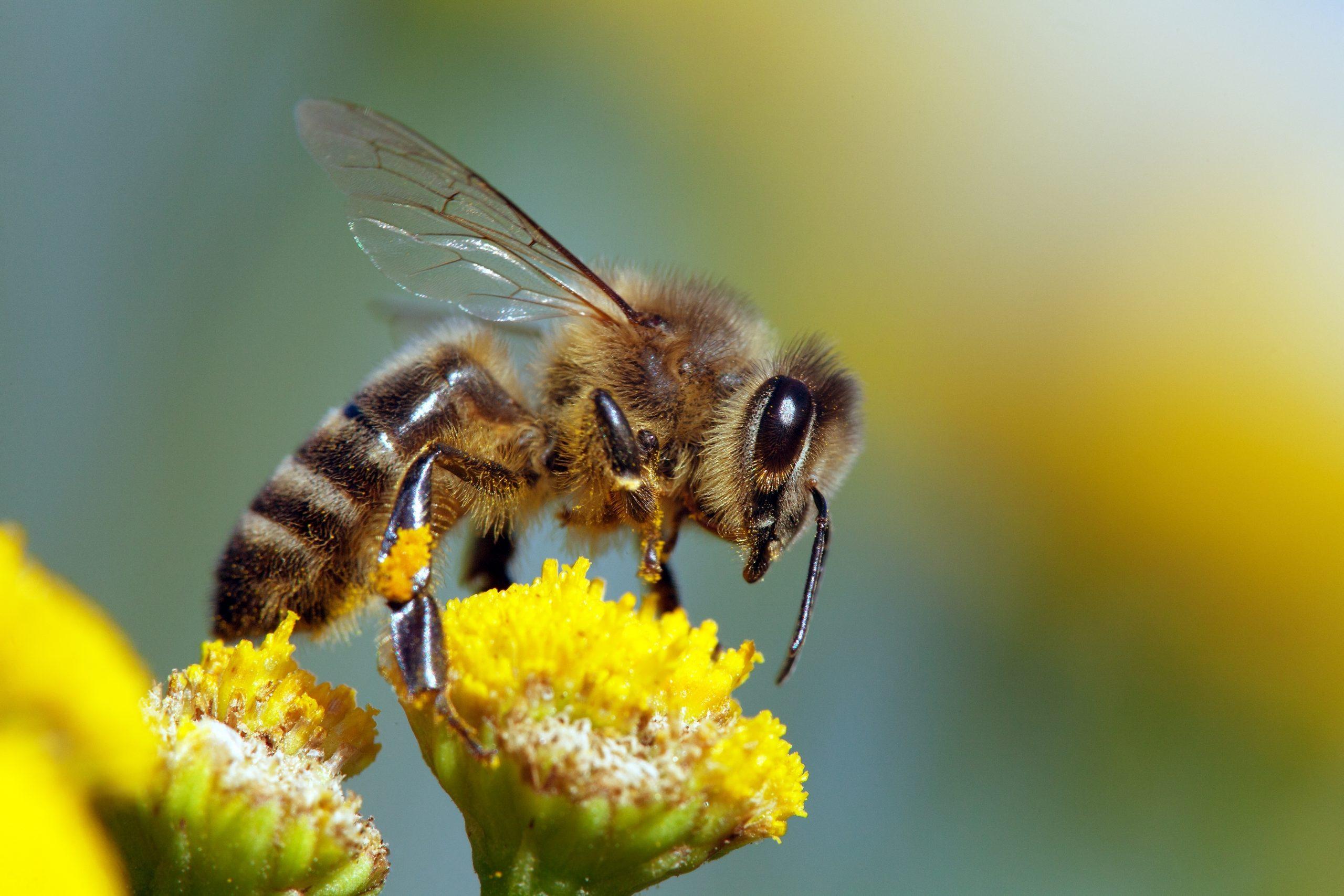 Close Up Of Western Honey Bee (Apis Mellifera) Pollinating