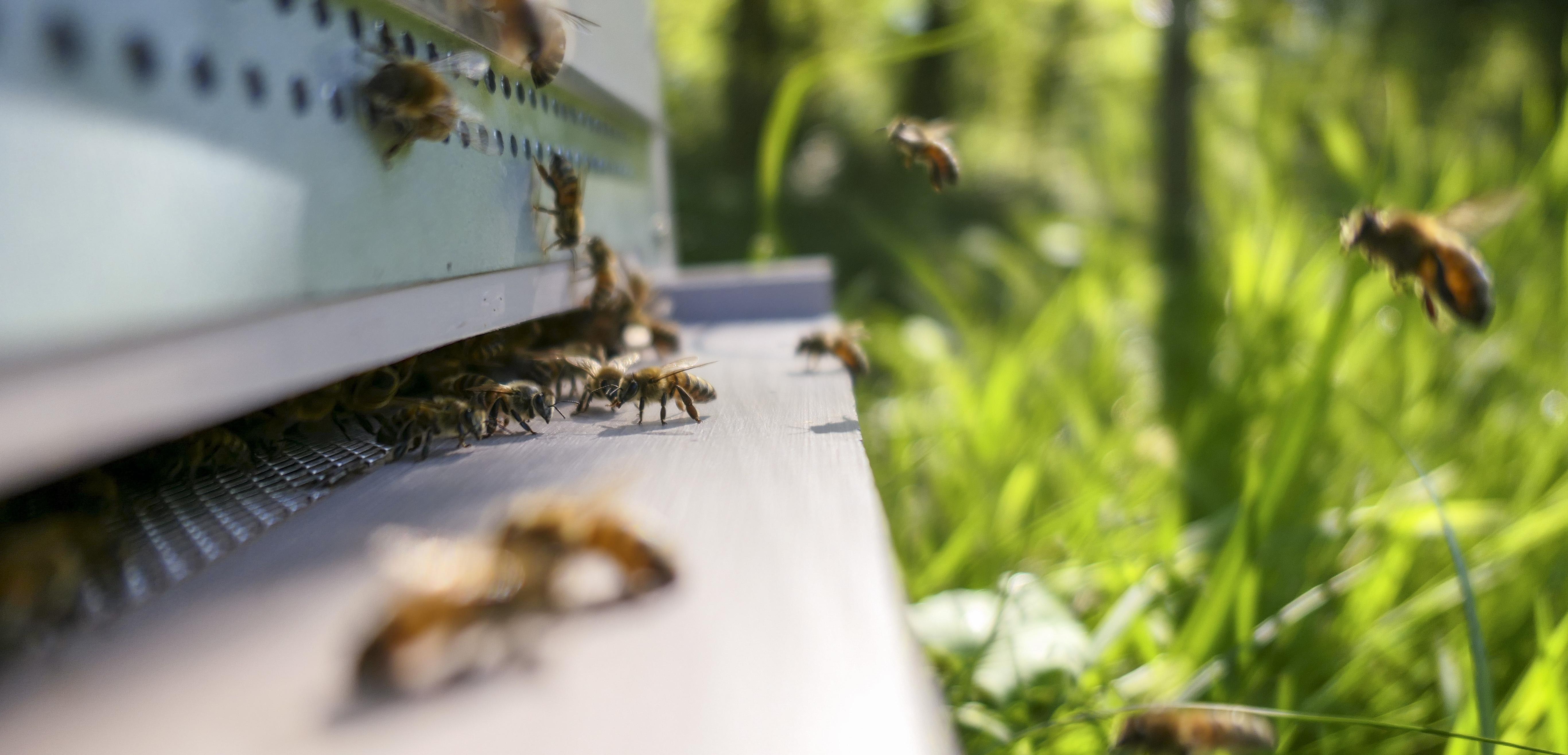 Buckfast Honey Bees Entering The Hive