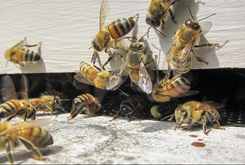 Buckfast Honey Bees