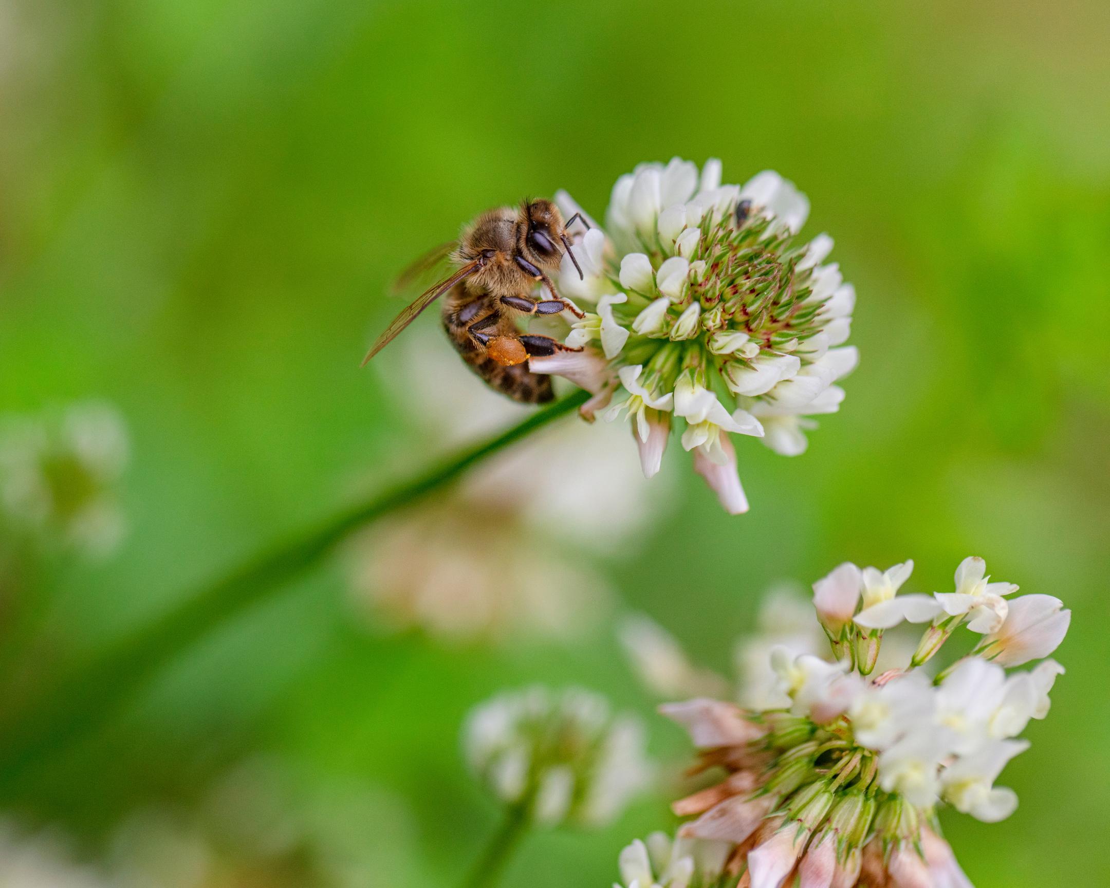 Honeybee Pollinating Clover