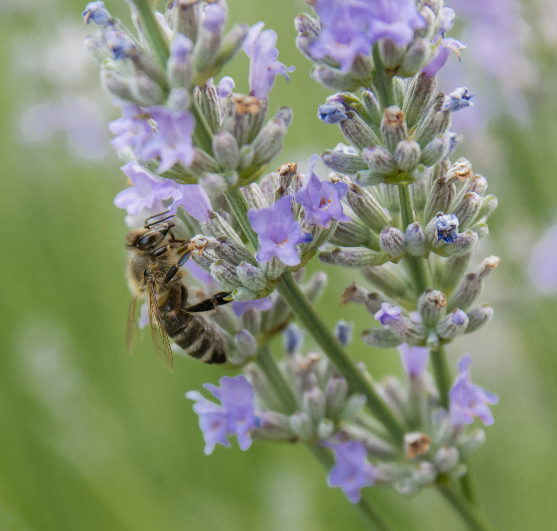 Africanised Bee Pollinating Lavender