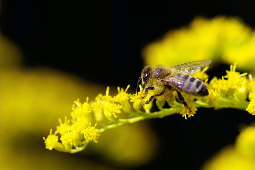 Apis Mellifera Collecting Nectar from Goldenrod