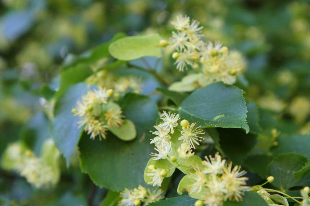 Basswood Flower