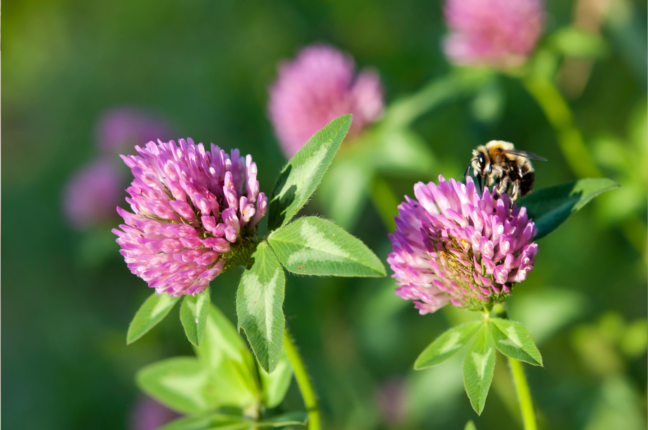 Bee Pollinating Red Clover