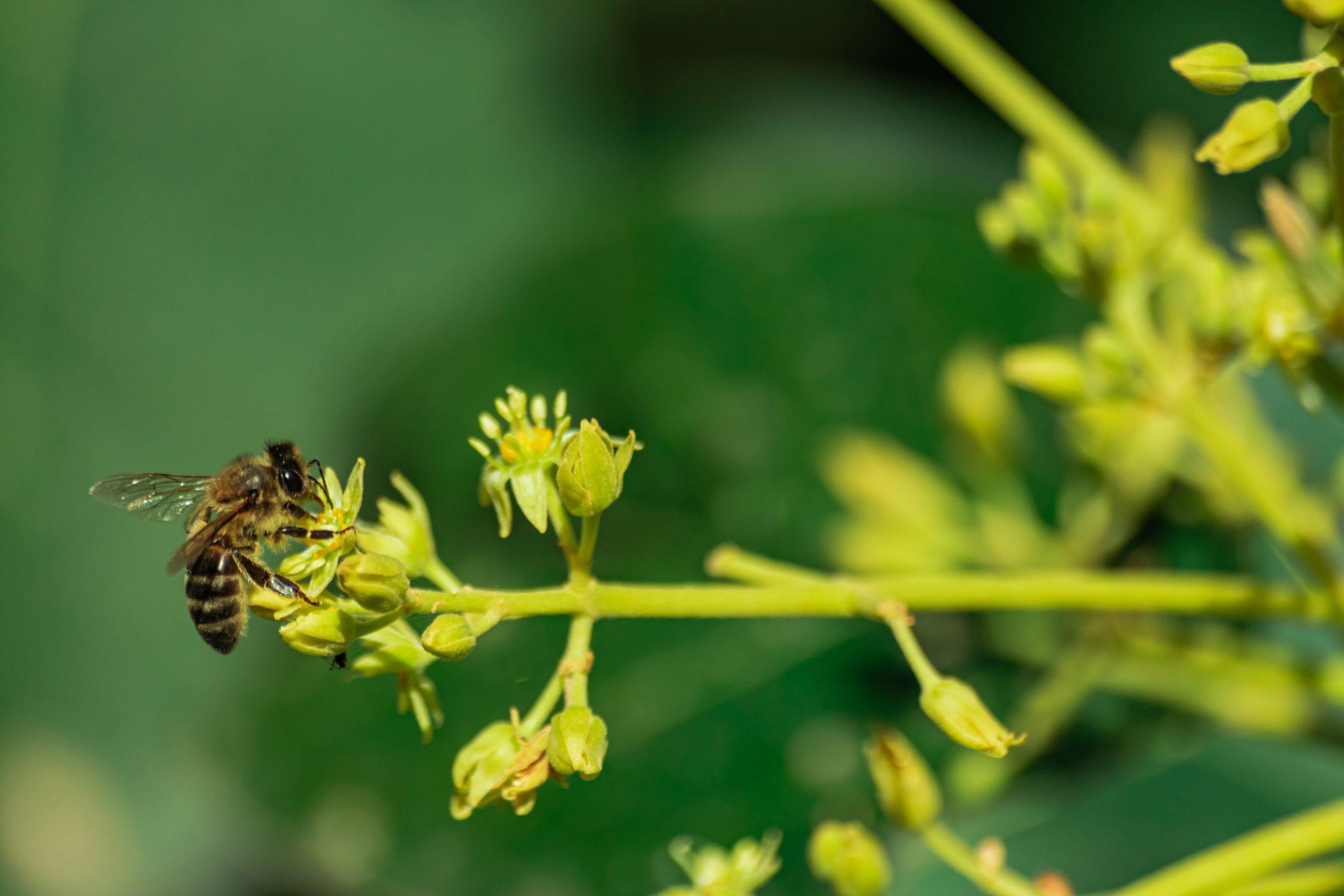 European Honey Bee Pollinating Avocado Flower