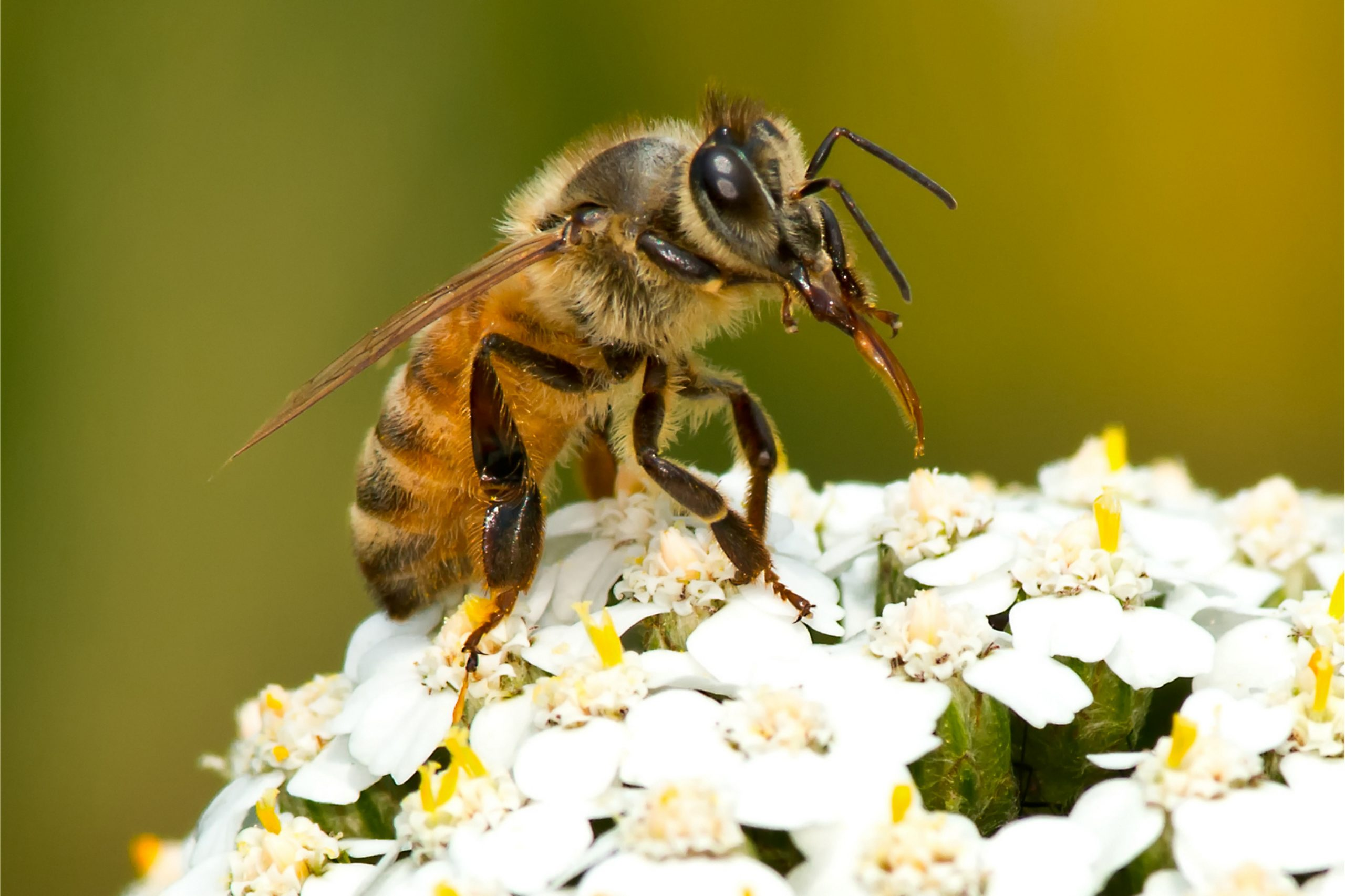 European Honey Bee collecting nectar from a white flower