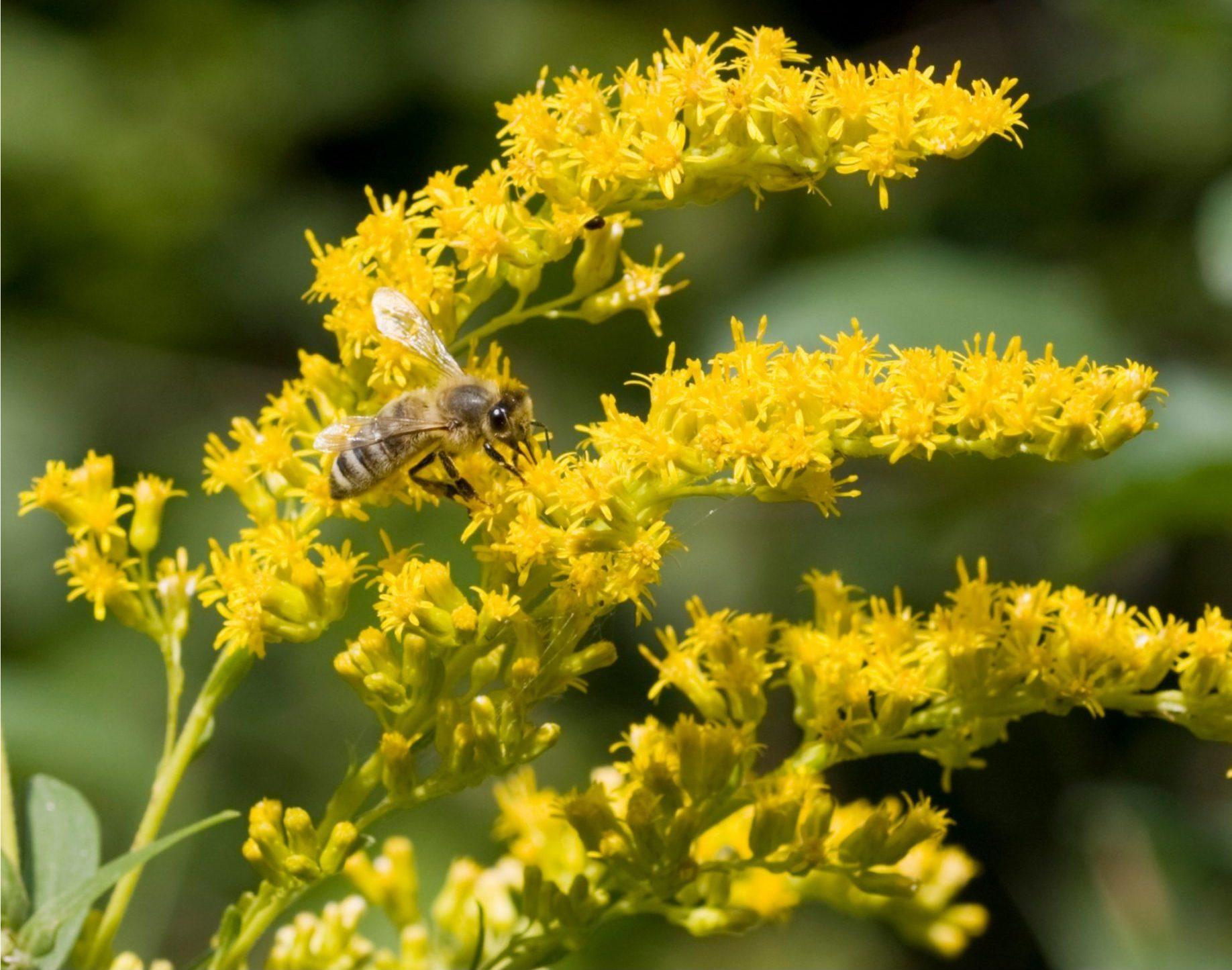 Honey Bee Pollinating Goldenrod