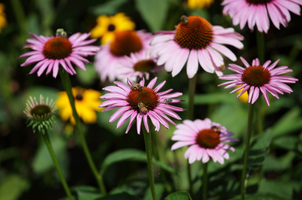 Honey Bees Collecting Nectar From Purple Coneflowers