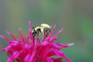 Italian Honey Bee Feeding on Bee Balm