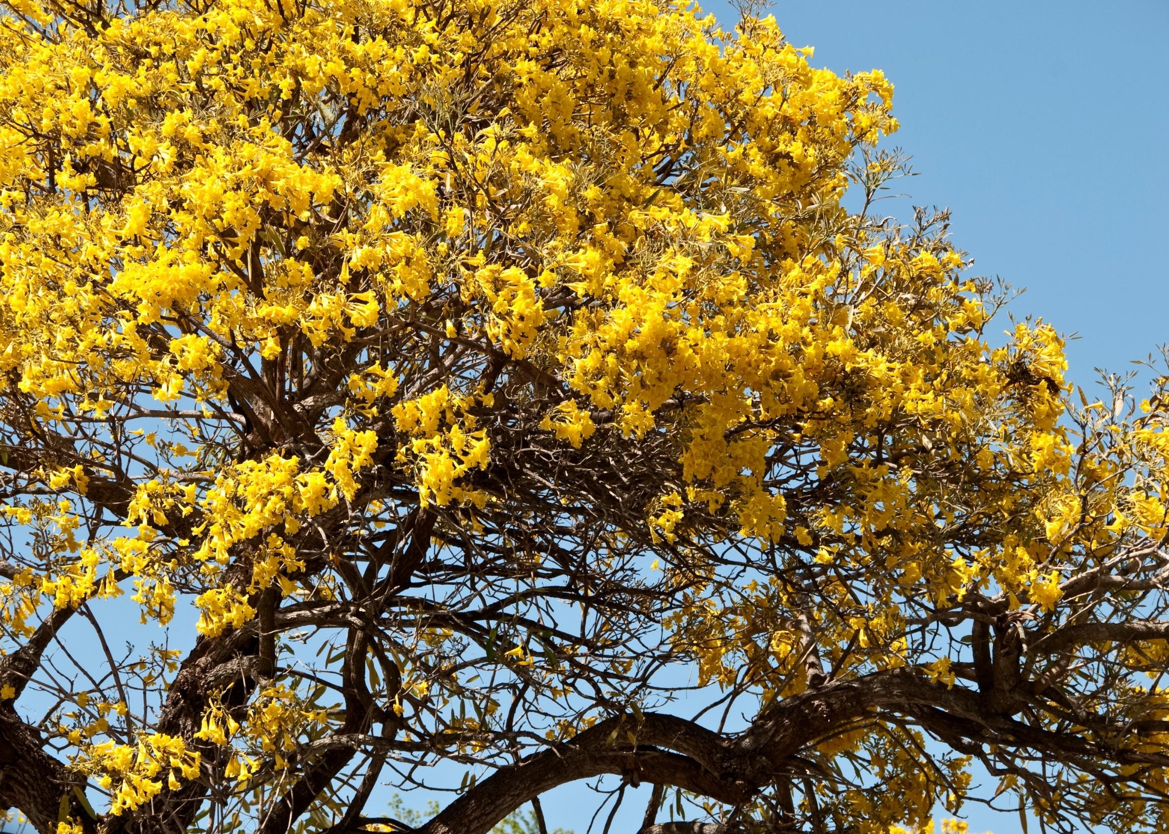 Yellow Tulip Tree